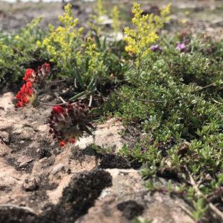 alvarsväxter