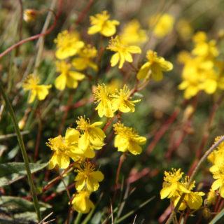 Ölands solvändan, Ölands landskapsblomma, är endemisk och växer endast på Öland.